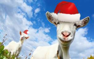 Jingle Goats